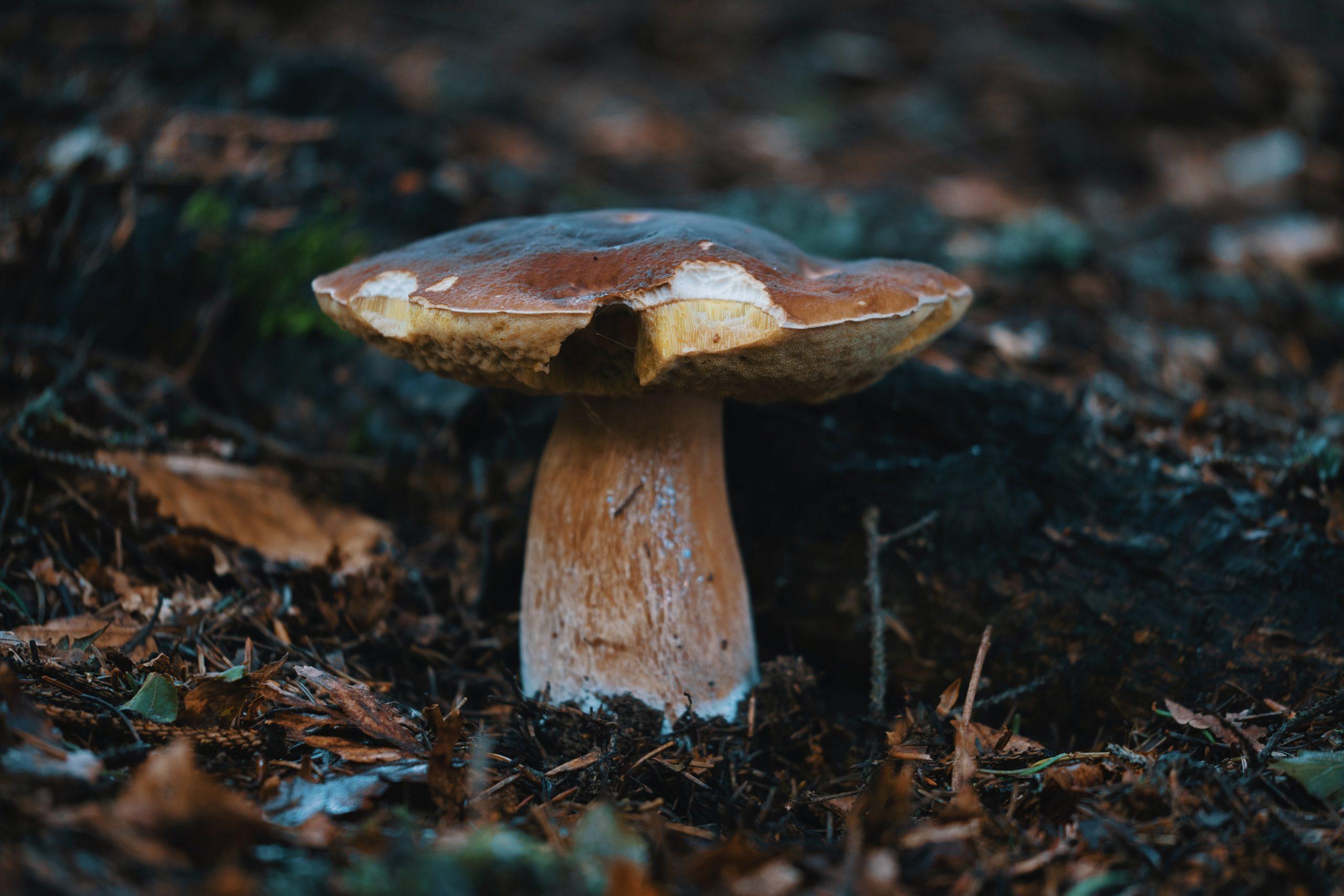 come-trovare-funghi-porcini